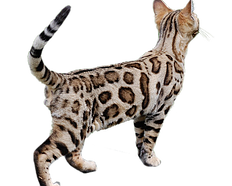 Here Is Where To Get Bengal Cats For Sale Male Bengal Cats Available More Information On Male Bengal Cat With Images Savannah Cat Price Savannah Cat For Sale Bengal Cat