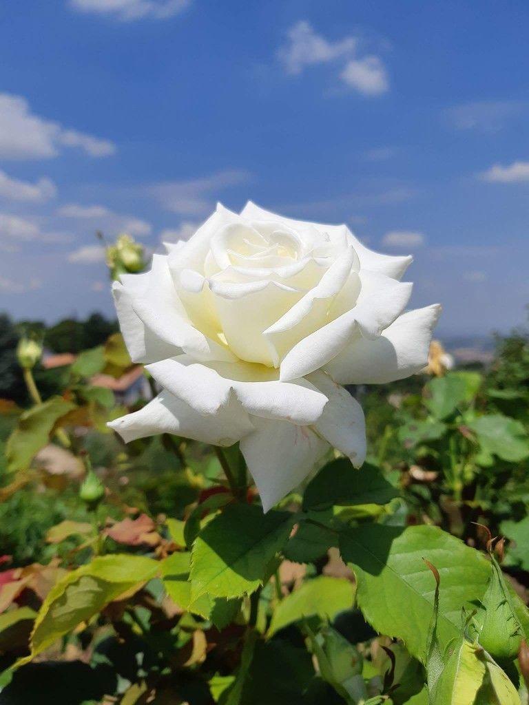 роза вайт шоколад фото время года