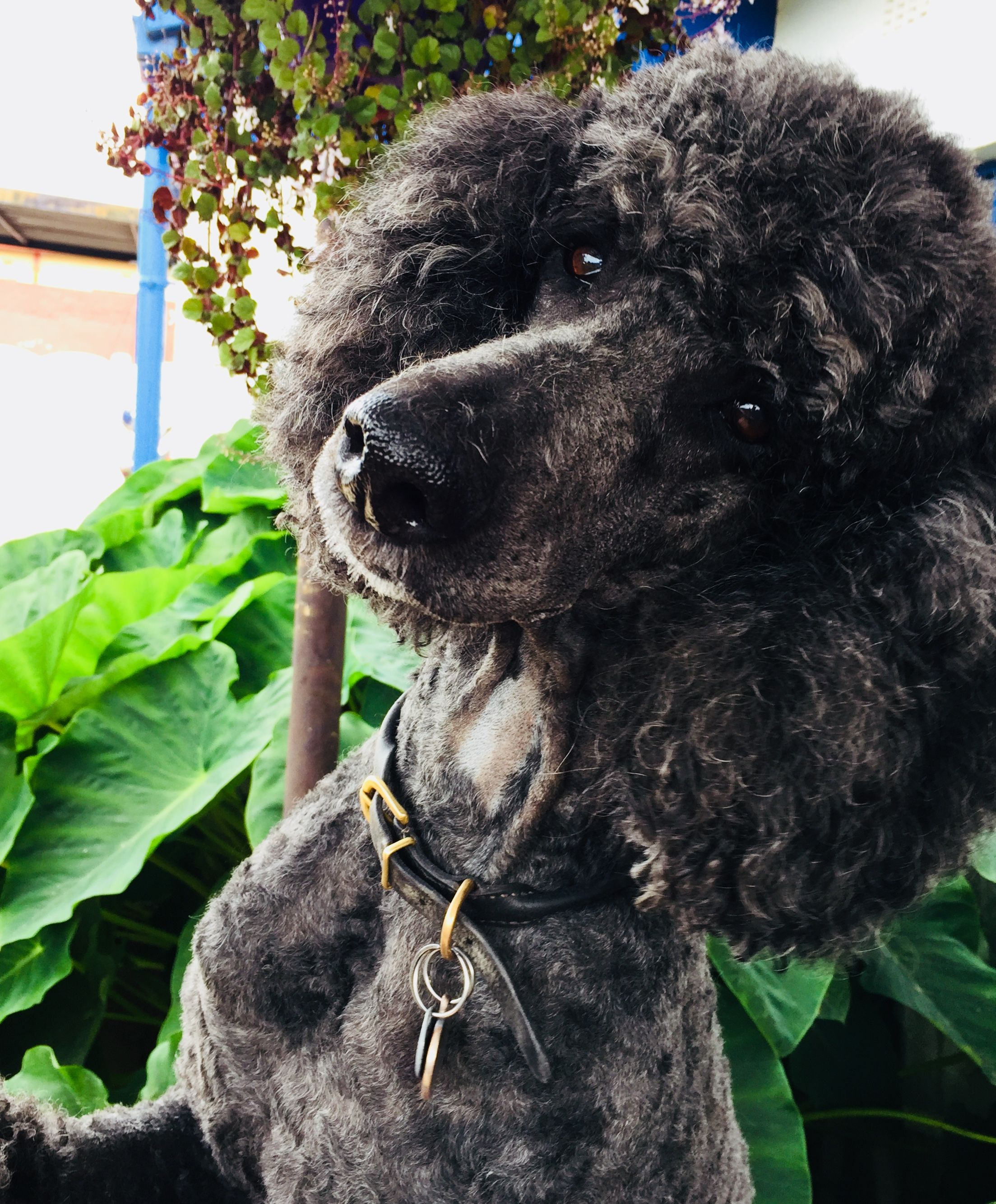 Pin By Randi Tarillion On Standard Poodles Poodle Dogs