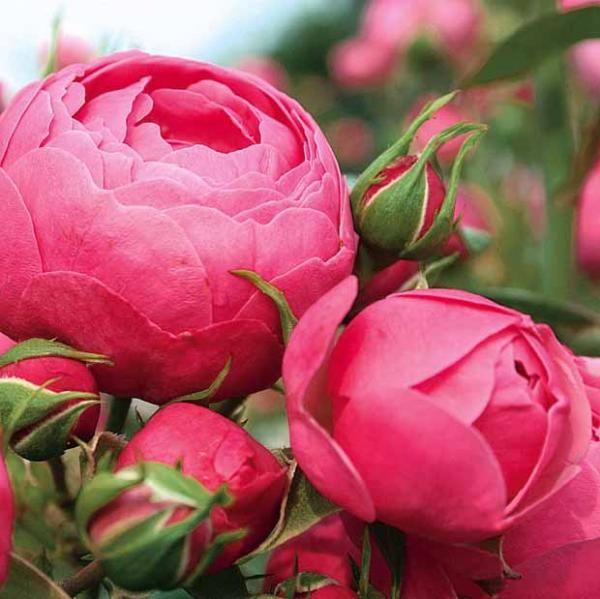 rosier massif 39 pomponella 39 korpompan roses du jardin. Black Bedroom Furniture Sets. Home Design Ideas