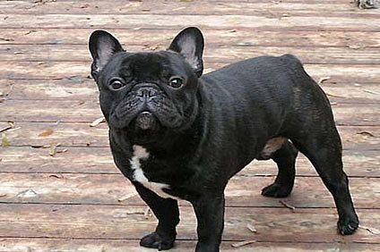 How To Care For A French Bulldog French Bulldog French Bulldog