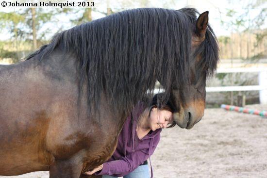Coldblood Trotter stallion Järvsö Harry