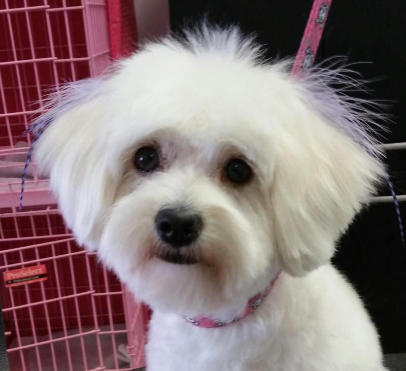 Adopt Chloe On Petfinder Teacup Puppies Maltese Poodle Mix Dogs Maltese Puppy