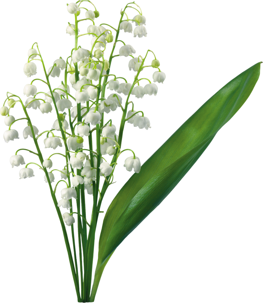 Transparent lily of the valley moms garden pinterest flowers transparent lily of the valley izmirmasajfo