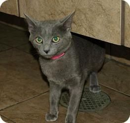 Adopt Nila On Russian Blue Cat Russian Blue Blue Cats