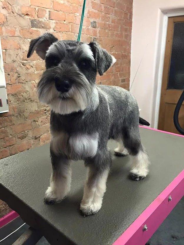 Pin By Angela On Hilly Hair Do Schnauzer Grooming Miniature Schnauzer Schnauzer Puppy