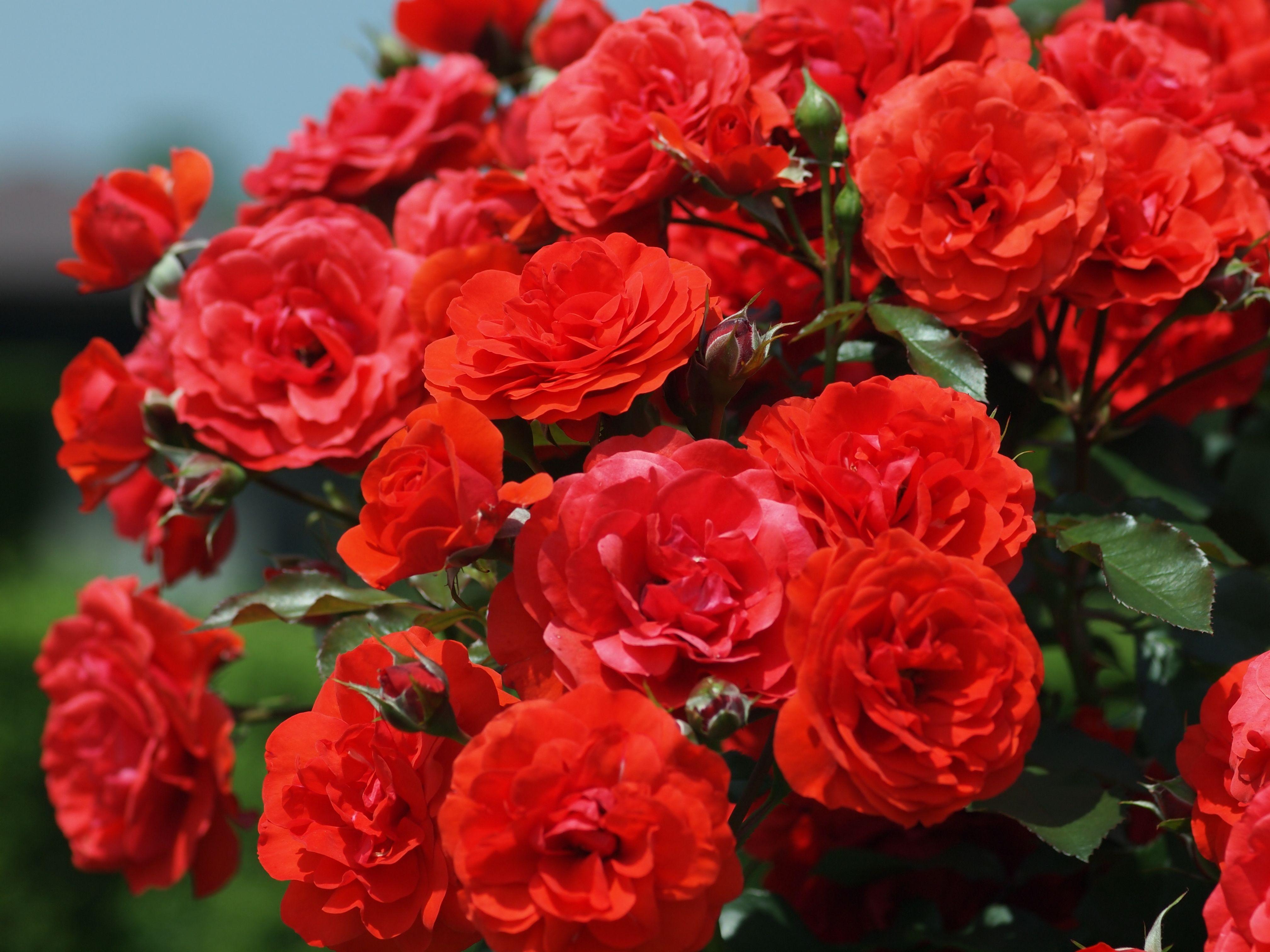 Rose Pruning For Sacramento Gardeners