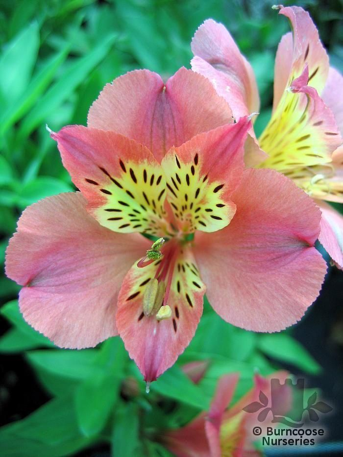 Alstroemeria Princess Zavina All Pictures Are For Ilrative Purposes Only The Actual Condition Of Individual Plants May Course Vary Depending On