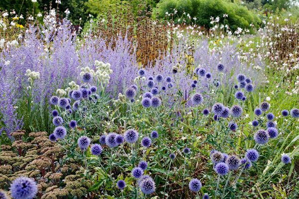 Piet oudolf echinops and agastache google search home for Piet oudolf pflanzen