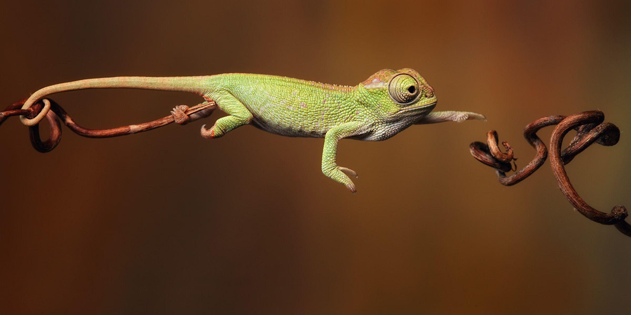 Wallpaper Chameleon Igor Siwanowicz Desktop Wallpaper Animals Reptiles And Amphibians Chameleon Baby Chameleon