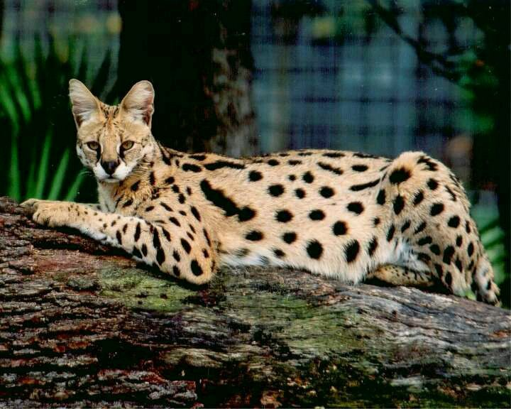 Servel African Wild Cat Cat Breeds Serval Cats