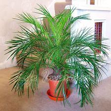 Phoenix roebelenii pigmeos palmeras maceta interior for Ver plantas ornamentales