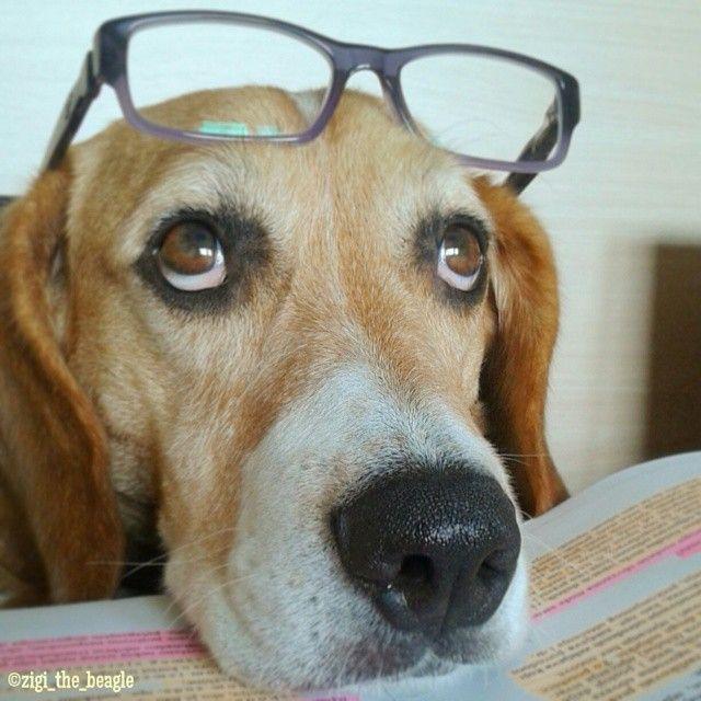Zigi The Beagle Beagle
