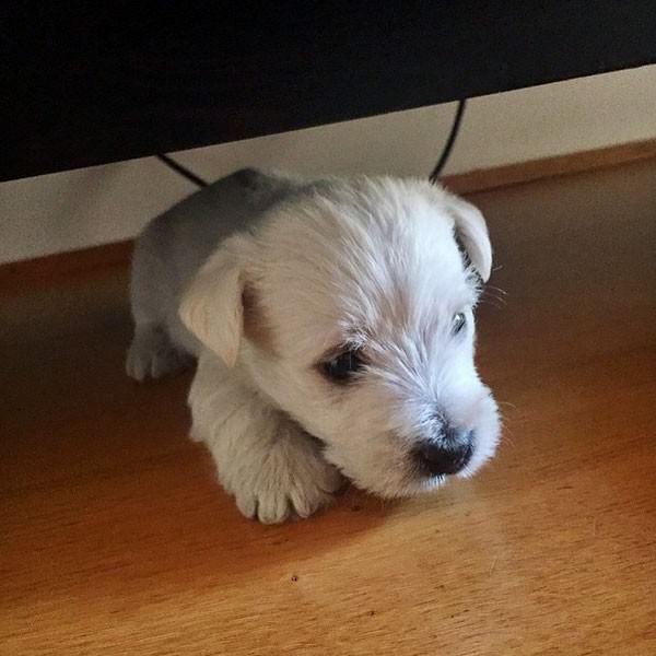 west highland terrier puppies westies