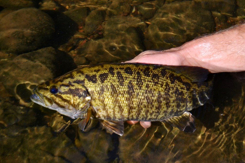 Beautiful jump river smallmouth if i 39 m not going to for How to fly fish for bass