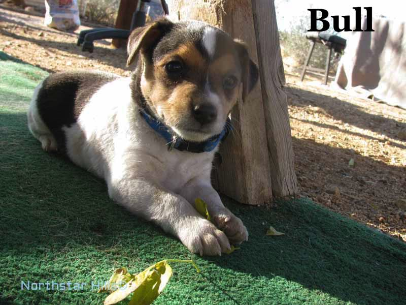 Breed Parson Russell Terrier Gender Male Registry Could Be