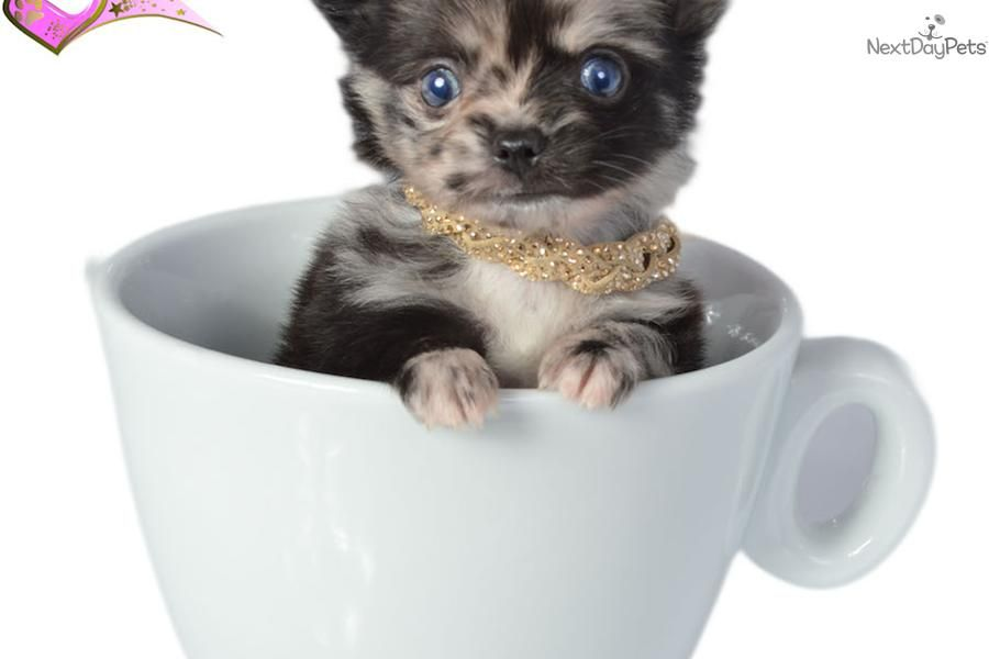 Meet Male A Cute Chihuahua Puppy For Sale For 0 Price Reduced