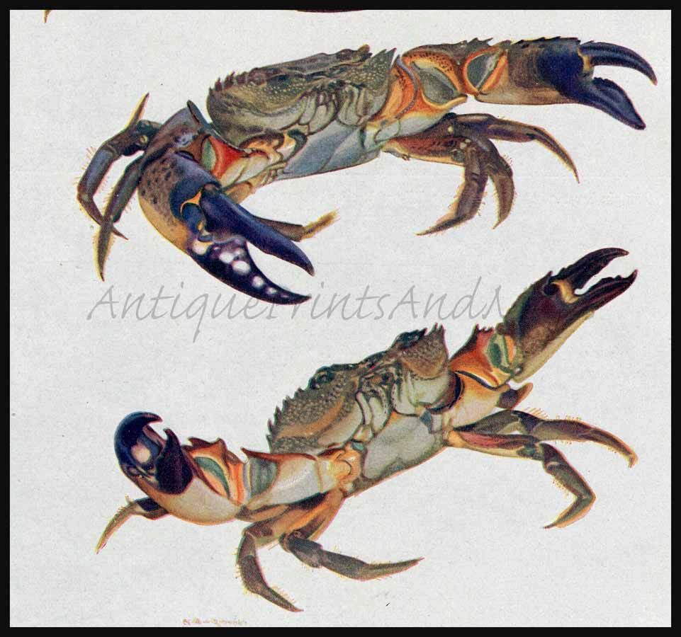 Crabs Edible Crab Or Brown Crustacean Early 1900s German Color Lithograph Original Antique Print