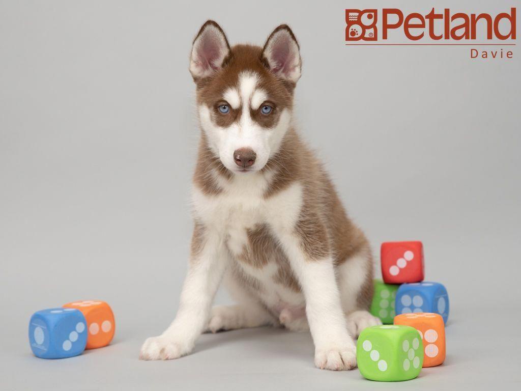 Petland florida has siberian husky puppies for sale