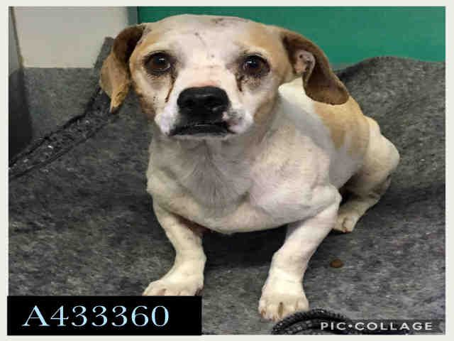 Max Id A433360 Urgent San Antonio Animal Care Services In
