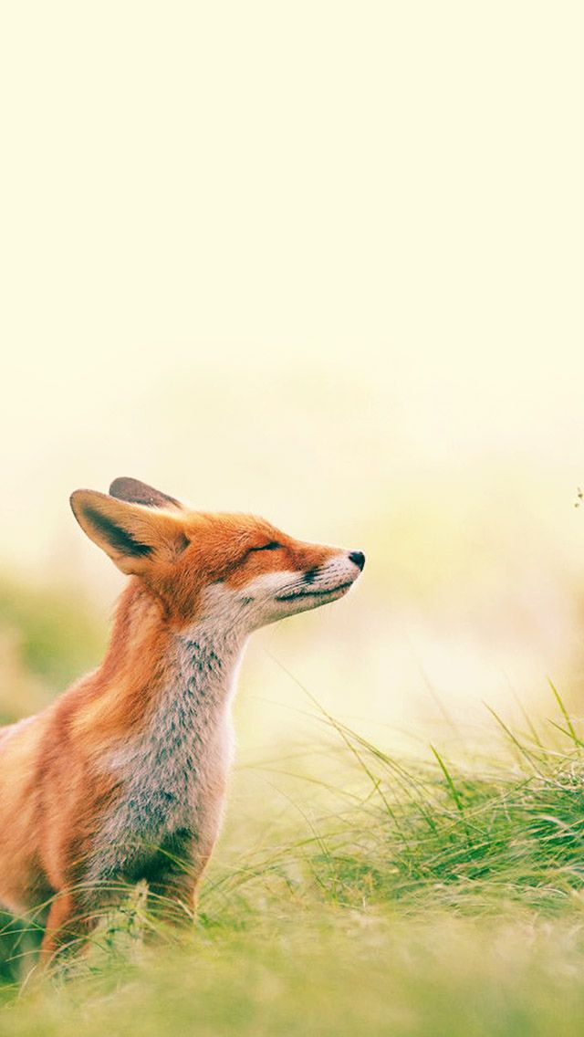 Fox Feeling Summer iPhone 5s Wallpaper Animais