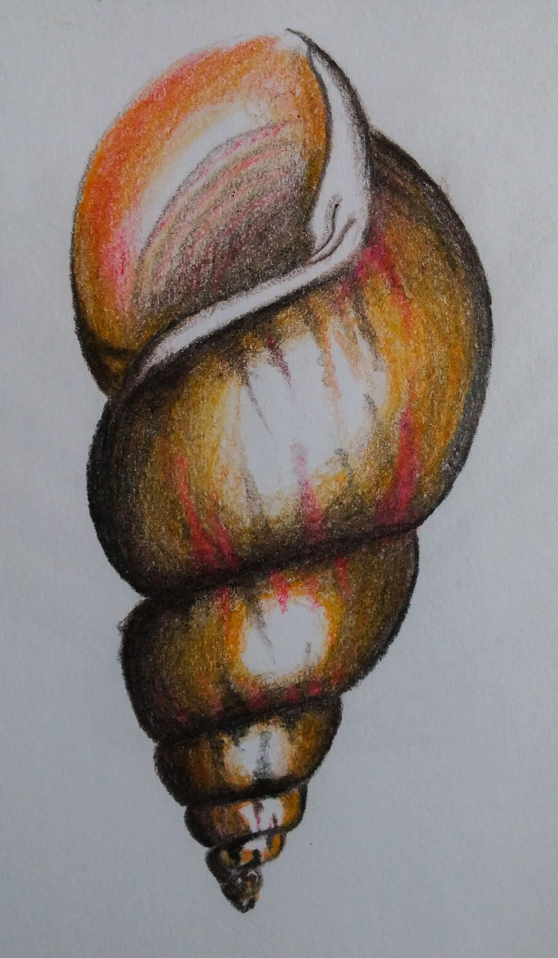 sea shell color pencil sketch in 2019   Drawings, Painting ...
