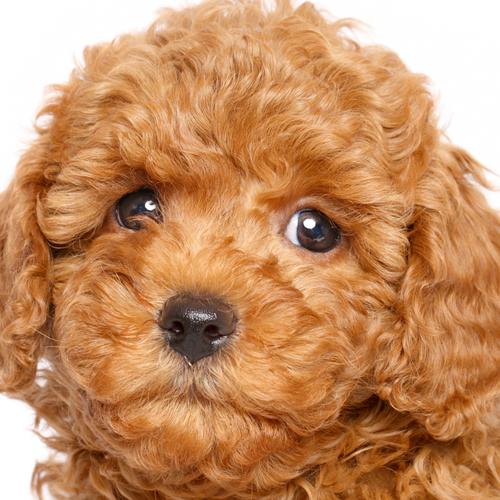 toy poodle Google Search Puppies, Poodle, Lap dogs