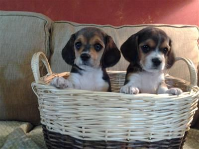 Beagalier Babies Beagle And Akc King Charles Cavalier Mix Baby Beagle Puppies Kittens And Puppies