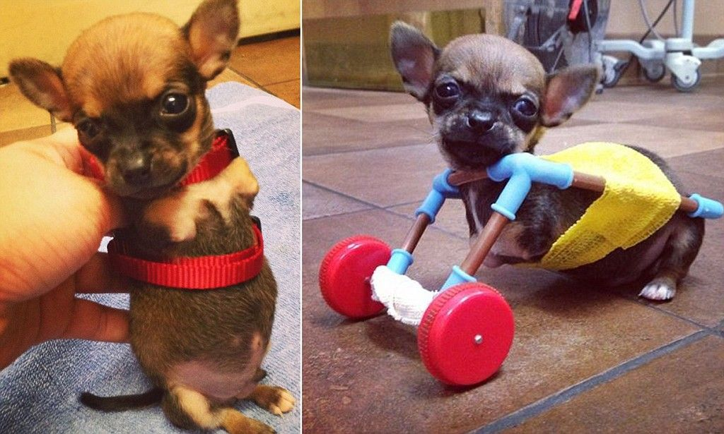 Turbo the tiny disabled chihuahua gets his first set of