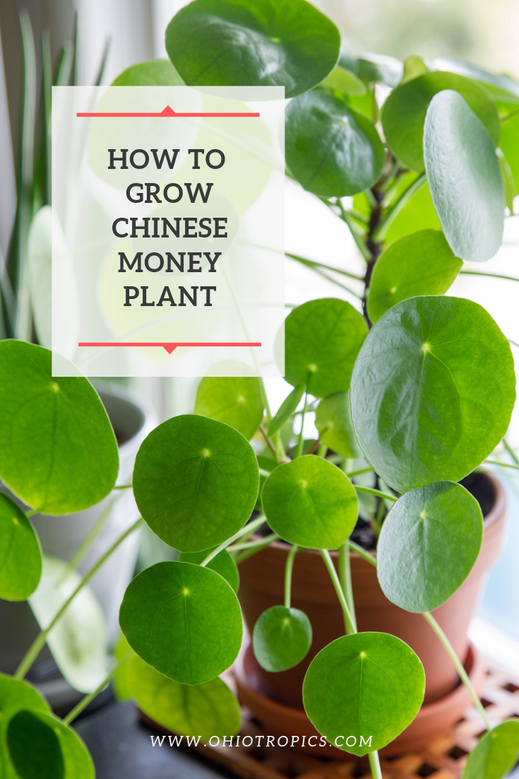 How To Revive Money Plant