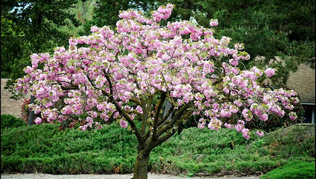 You Can Buy A Stunning Cherry Blossom Tree For Your Backyard At Home Depot For Under 40 Japanese Cherry Tree Flowering Cherry Tree Blossom Trees