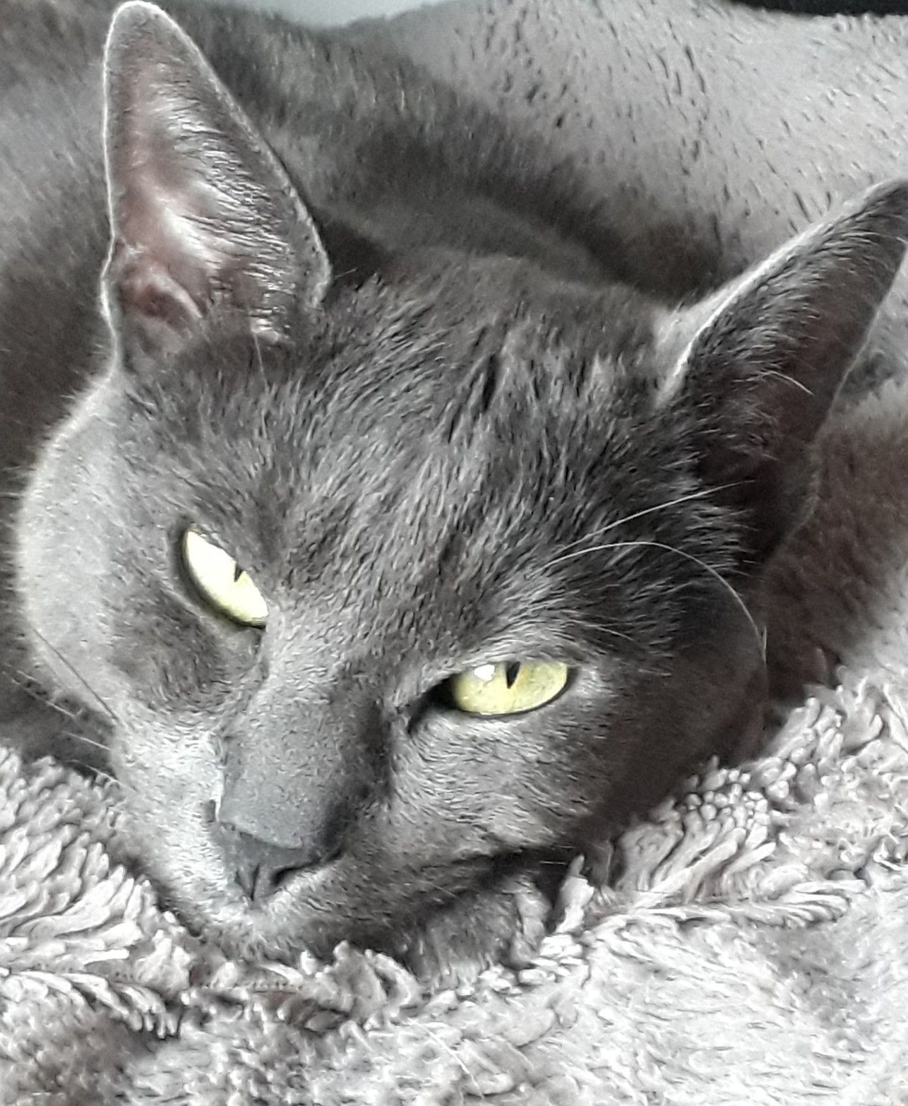 Dark Gray Cat With Tuxedo Markings Cat Graycat Cats And Kittens Grey Cats Cool Cats