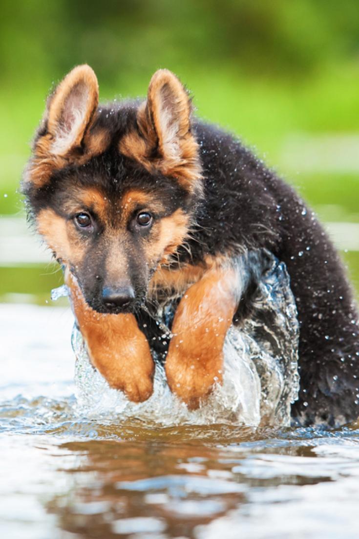 German Shepherd Puppy Jumping In Water Germanshepherd In 2020