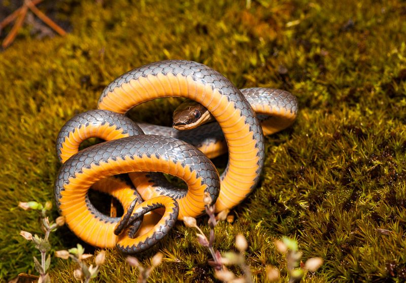 Northern Ring Necked Snake Ring Necked Snake Showing Off Its Orange Belly