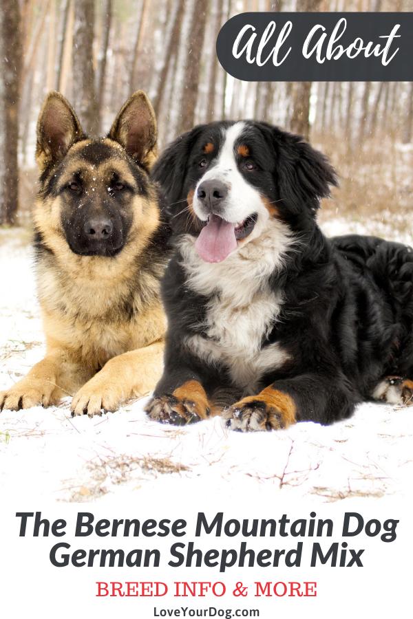 Bernese Mountain Dog German Shepherd Mix Breed Info Facts More Bernese Mountain Dog Mountain Dogs Bernese Mountain Dog Puppy
