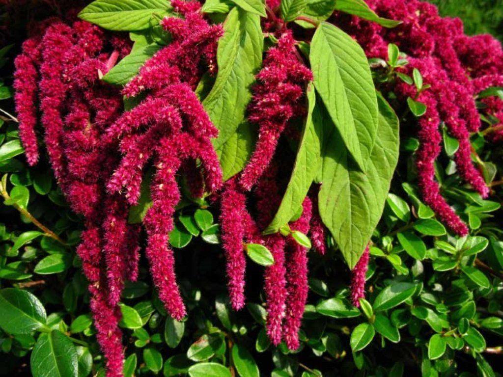 Flower Seeds Amaranthus Caudatus Ruby from Ukraine