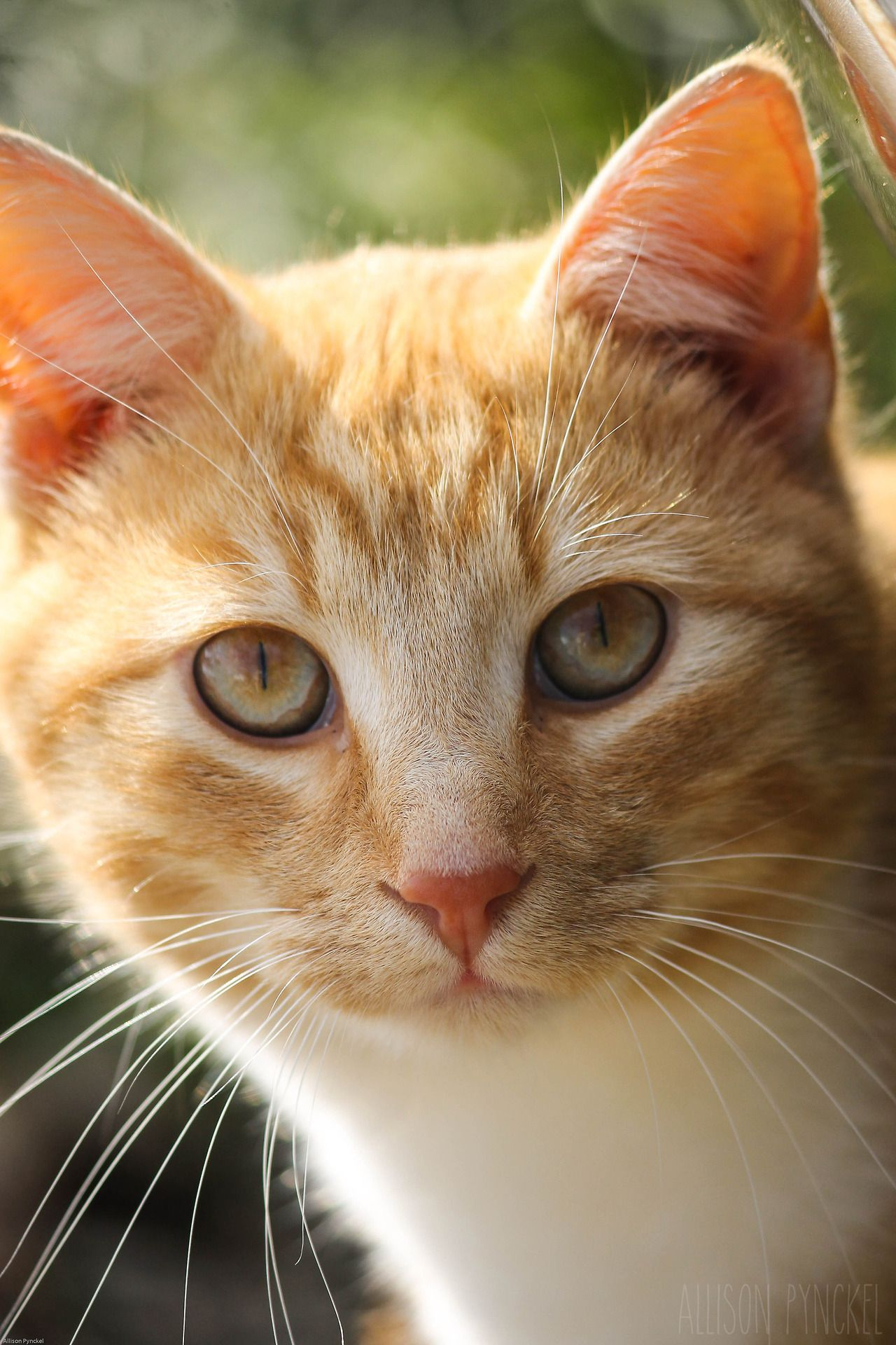Handsome White tabby cat, Orange tabby cats, Cats