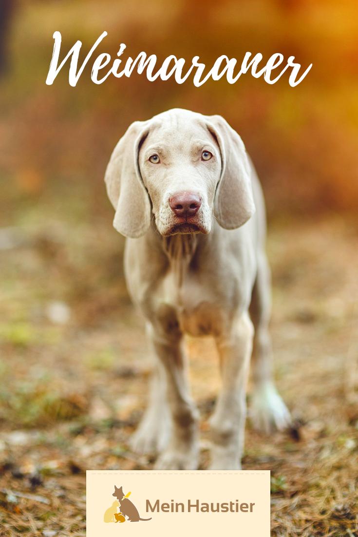Weimaraner Steckbrief Weimaraner Hunderassen Weimaraner Hund