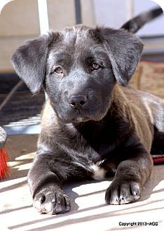D545 Labrakita Akita Labrador Retriever Labrador Retriever Puppy Time Puppies