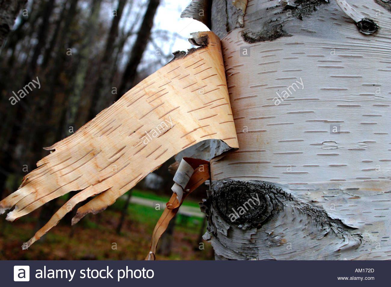 Bark Peeling Off Birch Tree Vermont Birch Tree Tree Image