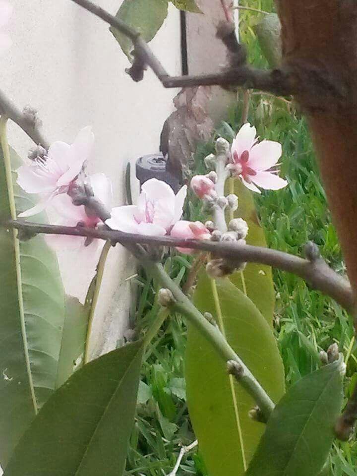 Flor del Durazno