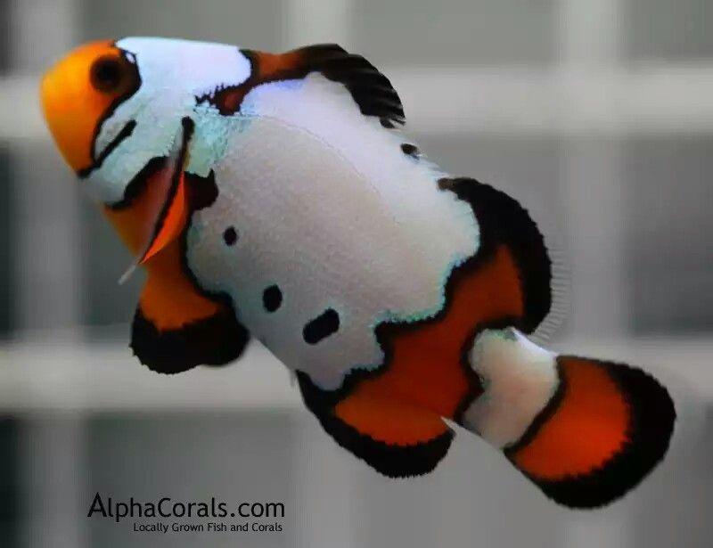 Black Ice Saltwater Fish Tanks Saltwater Aquarium Fish Clown Fish