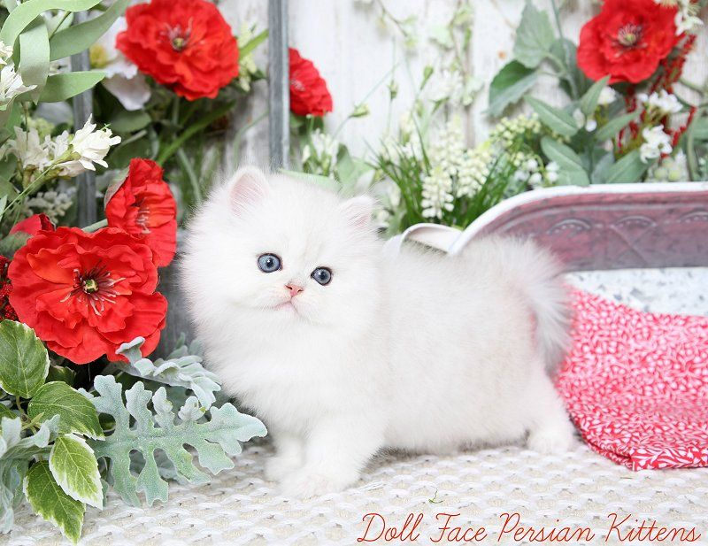 Silver Chinchilla Teacup Persian Kittens Cute Cats Dogs Teacup Persian Kittens Kittens Cutest