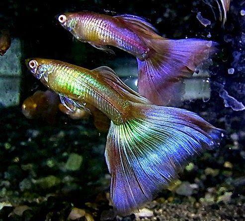 Albino Moscow Pink Guppy Guppy Fish Tropical Freshwater Fish Aquarium Fish