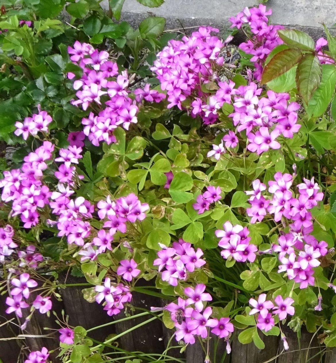 L oxalys articulata oxalys articul est une plante for Plante 5 feuilles