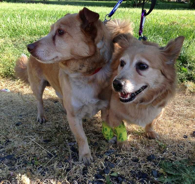 After care from Forest Grove and Gaston firefighters, Pacific Avenue Veterinary Clinic in Forest Grove and Tanasbourne Veterinary Emergency in Hillsboro, the two corgis--Buddy (left) and Lilly--are up and wagging their tails again. The Corgis were rescued from a Forest Grove house fire and revived by firefighters at the scene.