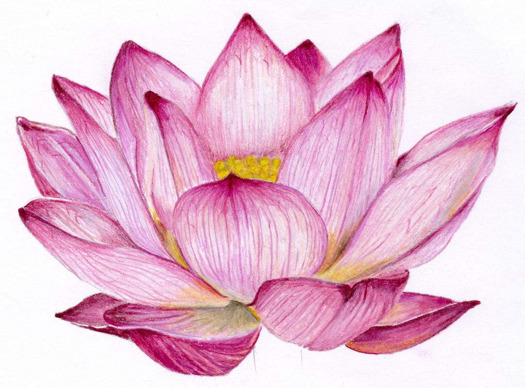 Pin by Rayne Lyddia on Flowers Flower drawing, Lotus