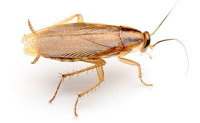 The German Cockroach Is Nocturnal And Likes To Live Near Food Moisture And Warmth German Cockroach Cockroaches Roach Control