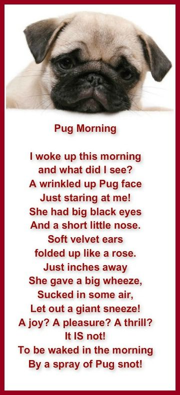 Poem That Pug Owners Can Relate To Pug Morning Pugs Pugs