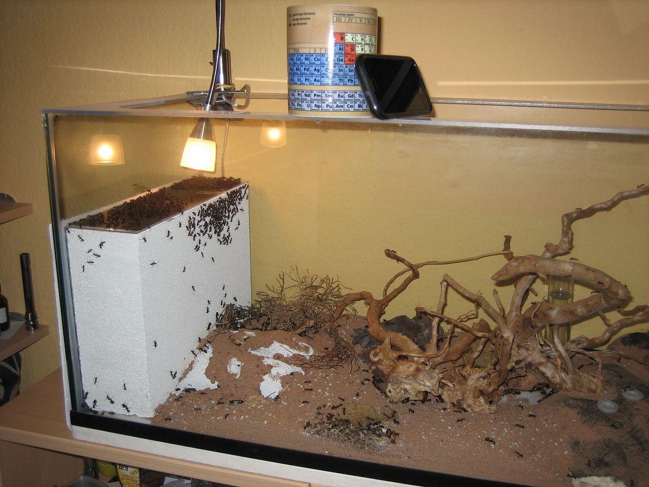 Camponotus Fellah Haltungserfahrungen Camponotus Exotisch 6 Ameisenfarm Ameisen Exotische